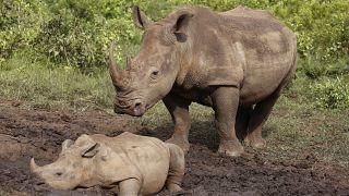 Rinocerontes na África do Sul