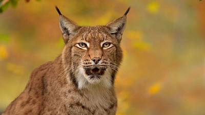 A group of three charities is consulting the public about the reintroduction of the Eurasian Lynx.