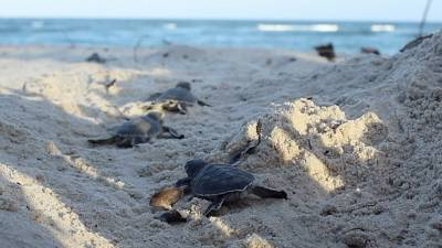 Baby green turtles makes their way to the sea on Tiwi Beach in Kenya