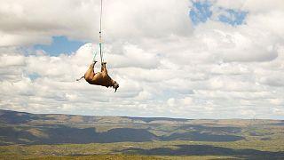 جابجایی کرگدن با بالگرد در آفریقای جنوبی