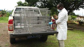 Gabon : des singes en captivité remis à l'état sauvage