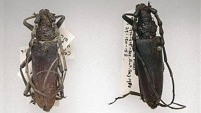 These beetles were found preserved in wood in East Anglia, and date back to even before the Romans.