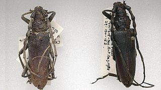 İngiltere'de bulunan ve 4 bin yıl öncesine dayanan böcek türü