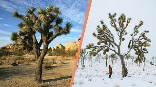 Before and after: Joshua Tree National Park is usually home to a desert climate