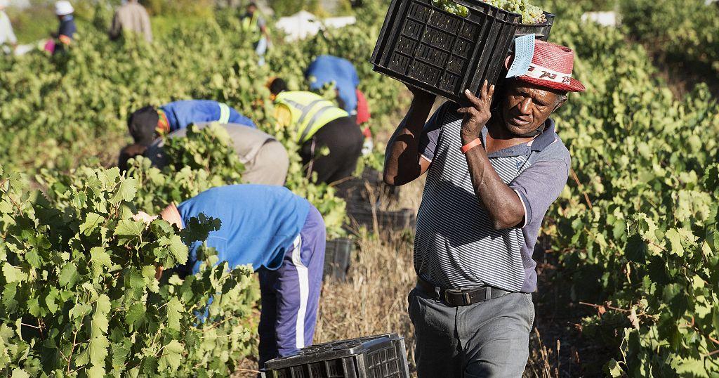Afrique du Sud : la filière vin en danger