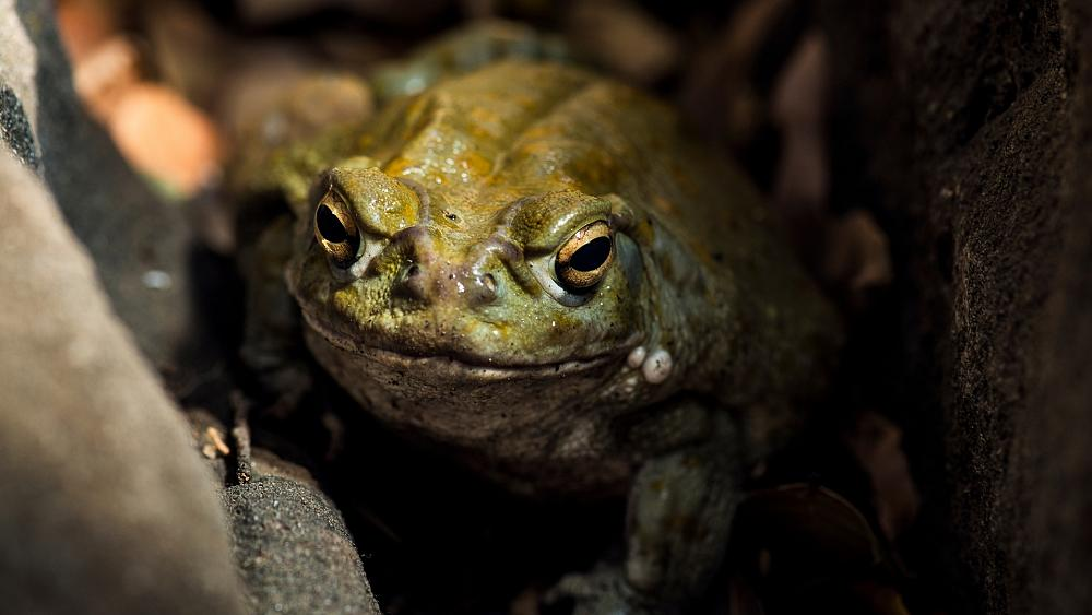 Conservationists plead with public to stop milking toads