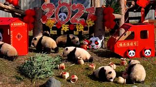 Baby pandas help ring in the Chinese New Year