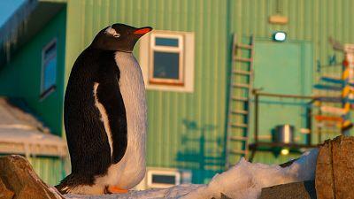 A penguin stands near The Ukrainian Antarctic Akademik Vernadsky station, Galindez Island, Argentine Islands