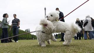 كلاب أليفة تلعب مع بعضها