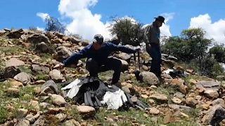Un grupo de expertos toma muestras de los cóndores hallados muertos en Bolivia.
