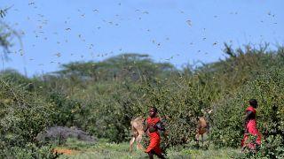 Kenya fights back fresh wave of desert locusts