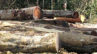 Kesilmiş ağaç gövdeleri