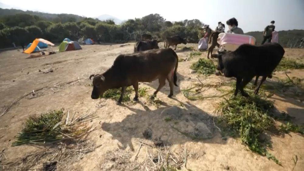 شاهد: أبقار تأكل البلاستيك بدل العشب بعد تحول حقولها إلى متنزهات دمرت الغطاء النباتي في هونغ كونغ