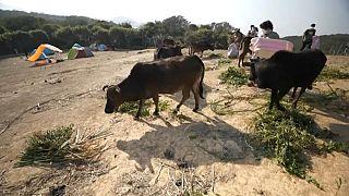 متطوعون لجمع العلف للأبقار بعد تحول الغطاء النباتي إلى أرض مغبرة