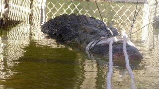 تمساح يزن 600 كيلوغرام، قبض عليه في 2018 في أستراليا (أرشيف)