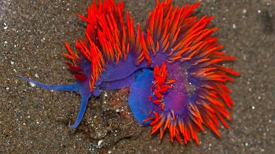 A Spanish Shawl nudibranch, also known as a Flabellina iodinea.