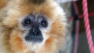 A gibbon looks on inside his enclosure at the zoo in Sarajevo, Bosnia, Monday, Feb. 15, 2021.