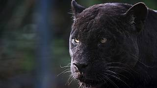 Black panthers are usually found wild in Africa, Asia, or the Americas.