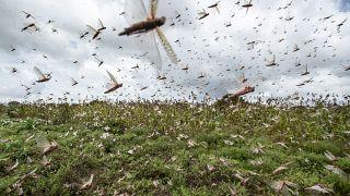 مطاردة بلا كلل للجراد المدمر في سماء كينيا