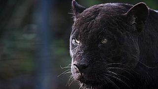 Una pantera nera (foto d'archivio)