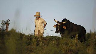 Un campesino camina llevando un buey con una soga por un campo cubano.