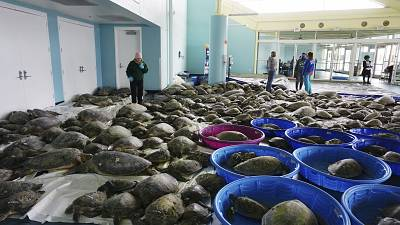 Thousands of Atlantic green sea turtles and Kemp's ridley sea turtles suffering from cold stun are laid out to recover