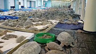 Тысячи морских черепах, спасённые от холода на юге Техаса