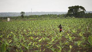 Campos agrícolas em Angola