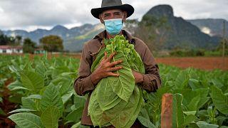 Eduardo Hernandez, restaurant owner and tobacco cultivator, works his land in Vinales, Cuba