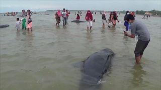 شاهد: نفوق عشرات الحيتان قبالة سواحل جزيرة إندونيسية