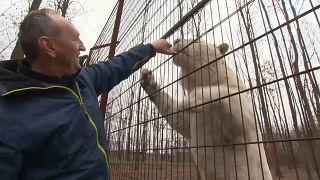 Tibor com um dos seus tigres brancos