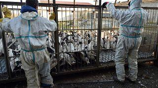 عمليات تعقيم مزرعة دواجن في فرنسا