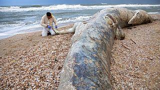 NO COMMENT | Una enorme ballena muerta aparece en las playas de Israel tras una tormenta