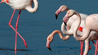 Flamingos at a salt lake in the southern coastal city of Larnaca, in the eastern Mediterranean island of Cyprus, Sunday, Jan. 31, 2021.