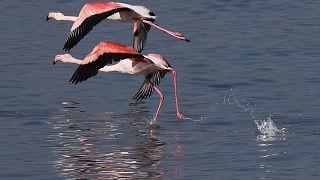 На Кипре встревожены гибелью нескольких десятков фламинго
