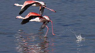 Flamingók a Larnaca-tónál Cipruson