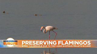Flamingo feeding in Larnaca Salt Lake in Cyprus