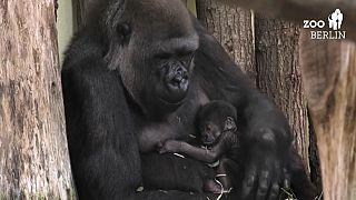 Gorilla-Mama Bibi mit ihrem schlafenden Nachwuchs