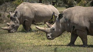 Course contre la montre pour sauver les rhinoceros blancs du Nord