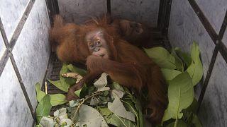 """نقل صغار قردة """"إنسان الغاب"""" إلى مركز إعادة التأهيل في ميدان، شمال سومطرة في إندونيسيا"""