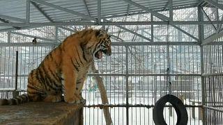 """""""Singender"""" Amur-Tiger wird Internetstar"""