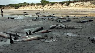 86 dolphins found dead in Mozambican coast