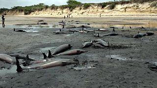 Une centaine de dauphins retrouvés morts au large du Mozambique