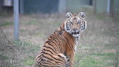 Six-month old tigress Elsa has arrived to her new home in the Black Beauty Ranch in Murchison, Texas, US.