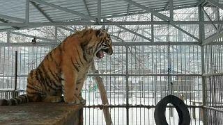 نمر يغتي في حديقة حيوان بصربيا