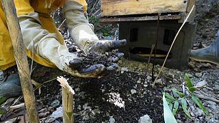 Un apicultor recoge las abejas muertas de su enjambre