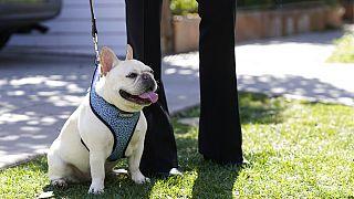 Eine französische Bulldogge an der North Sierra Bonita Ave., Los Angeles, USA, 25.02.2021
