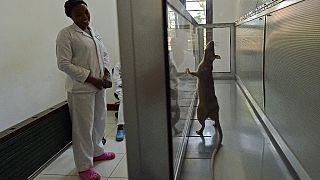 Laboratuvarda fare (arşiv)