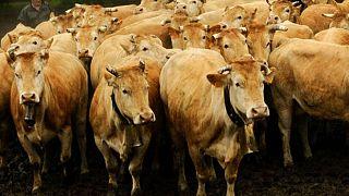 İspanya'da limanda tutulan 850'yi aşkın sığırın durumlarının oldukça kötü olduğu söyleniyor.