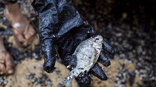 Νεκρό ψάρι από την πετρελαιοκηλίδα στις ακτές του Ισραήλ